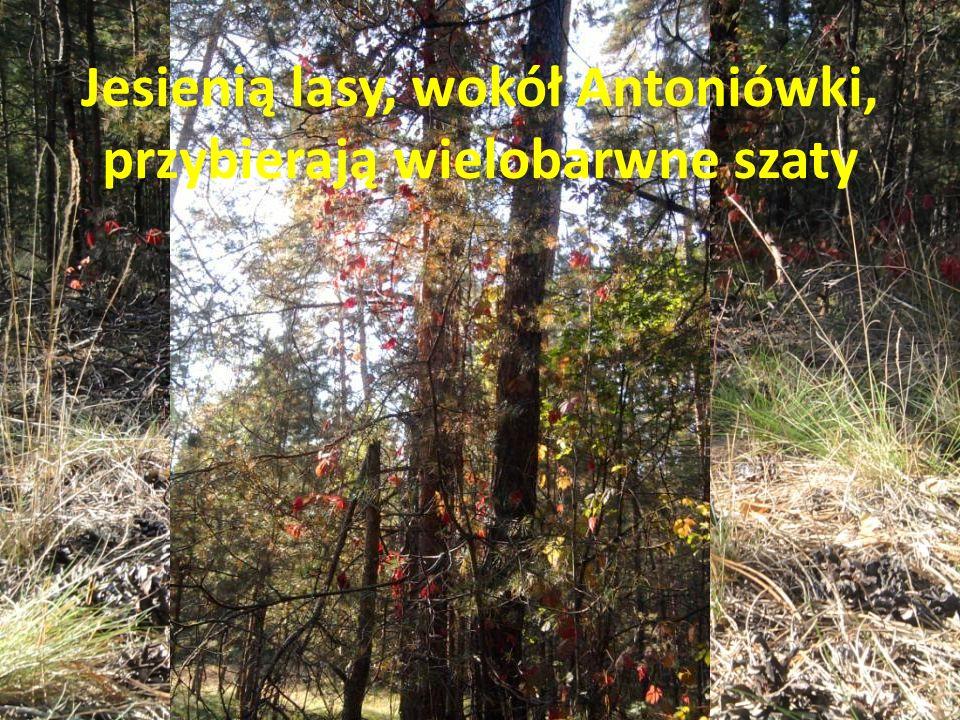 Jesienią lasy, wokół Antoniówki, przybierają wielobarwne szaty