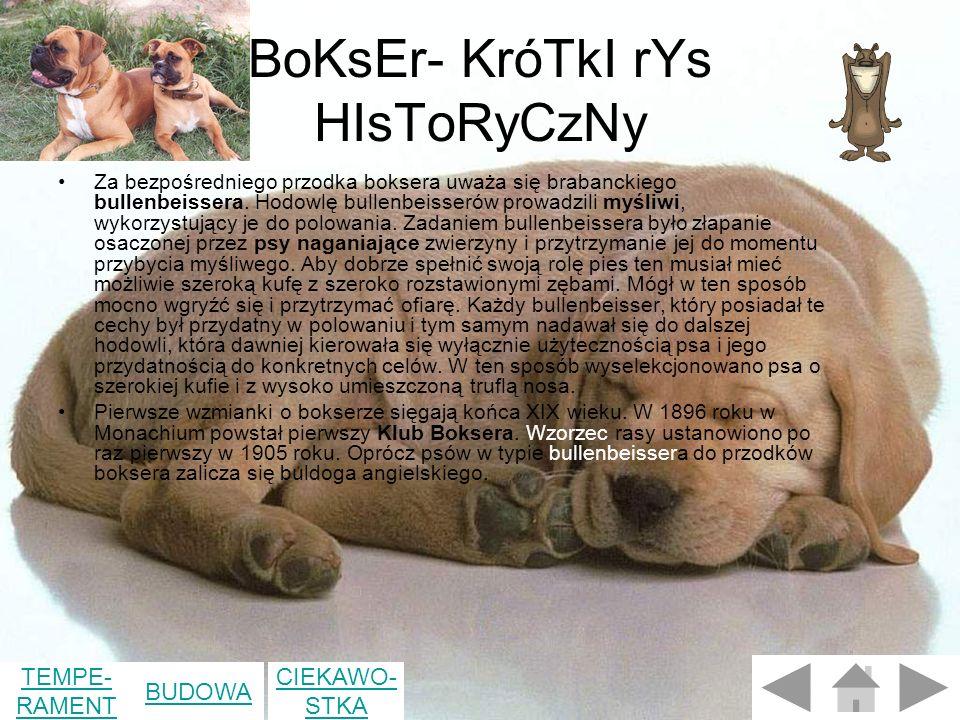 BoKsEr- KróTkI rYs HIsToRyCzNy Za bezpośredniego przodka boksera uważa się brabanckiego bullenbeissera.