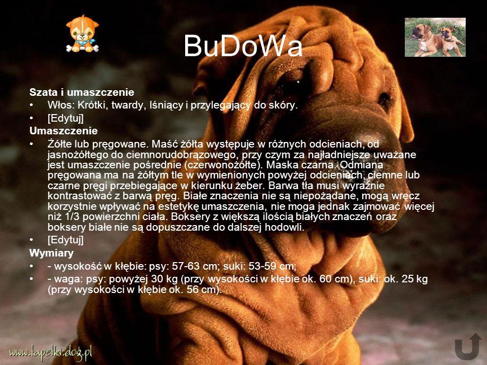 BuDoWa Szata i umaszczenie Włos: Krótki, twardy, lśniący i przylegający do skóry.
