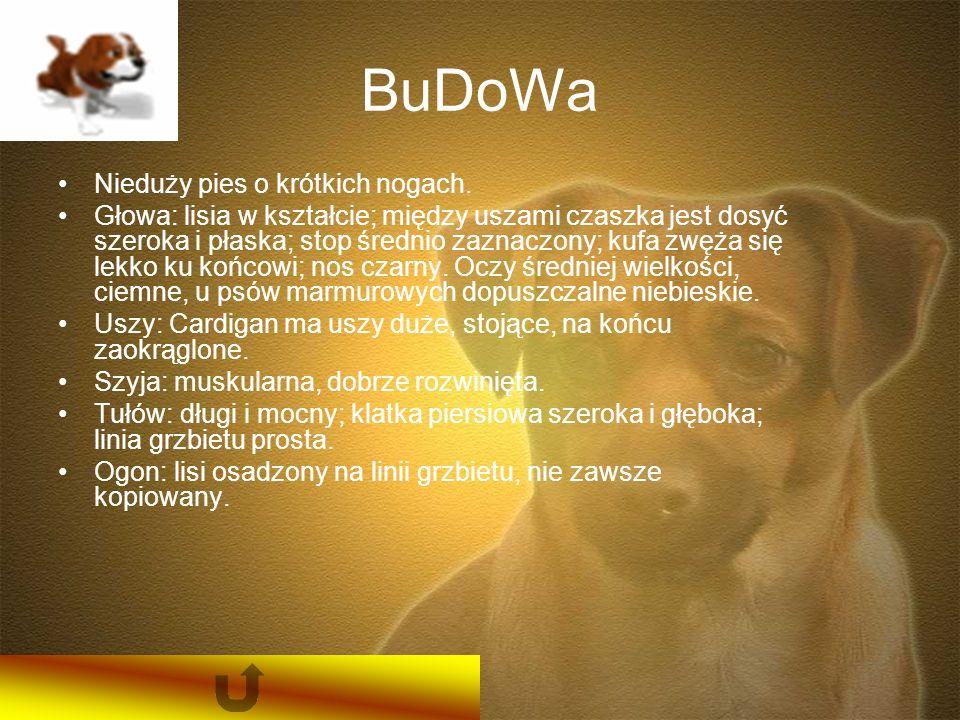 BuDoWa Nieduży pies o krótkich nogach.