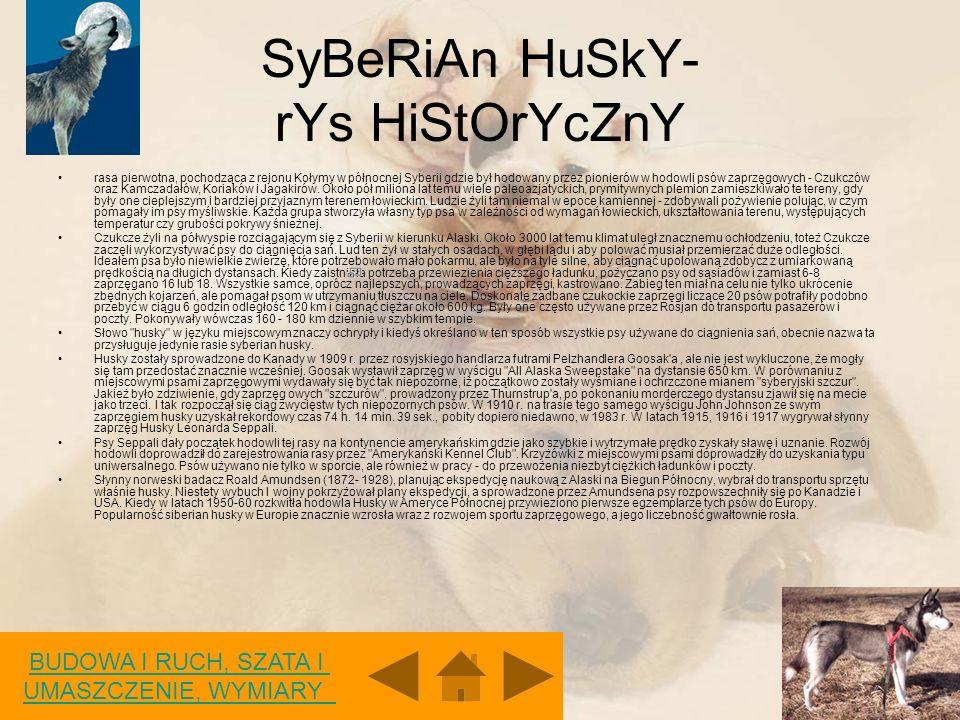 SyBeRiAn HuSkY- rYs HiStOrYcZnY rasa pierwotna, pochodząca z rejonu Kołymy w północnej Syberii gdzie był hodowany przez pionierów w hodowli psów zaprzęgowych - Czukczów oraz Kamczadałów, Koriaków i Jagakirów.