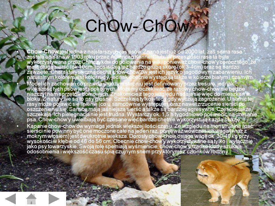 ChOw- ChOw Chow-Chow jest jedną z najstarszych ras psów.