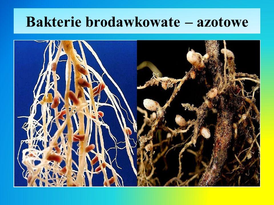 Bakterie brodawkowate – azotowe
