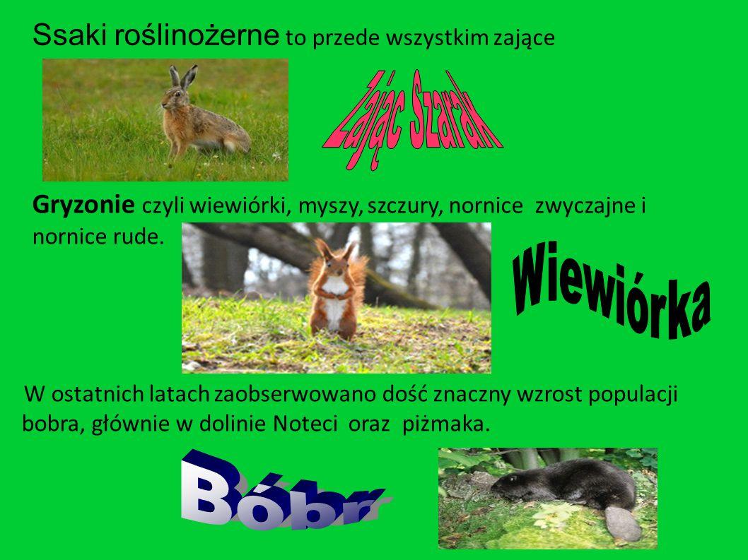 Ssaki roślinożerne to przede wszystkim zające Gryzonie czyli wiewiórki, myszy, szczury, nornice zwyczajne i nornice rude.