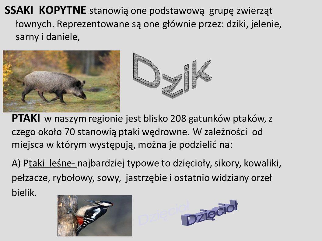 SSAKI KOPYTNE stanowią one podstawową grupę zwierząt łownych.