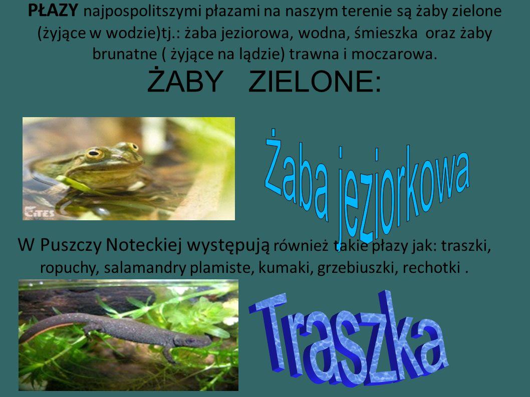 PŁAZY najpospolitszymi płazami na naszym terenie są żaby zielone (żyjące w wodzie)tj.: żaba jeziorowa, wodna, śmieszka oraz żaby brunatne ( żyjące na lądzie) trawna i moczarowa.