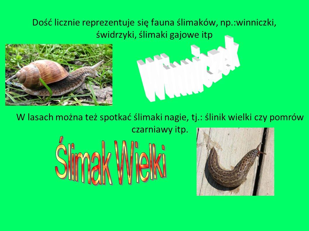 Dość licznie reprezentuje się fauna ślimaków, np.:winniczki, świdrzyki, ślimaki gajowe itp W lasach można też spotkać ślimaki nagie, tj.: ślinik wielki czy pomrów czarniawy itp.