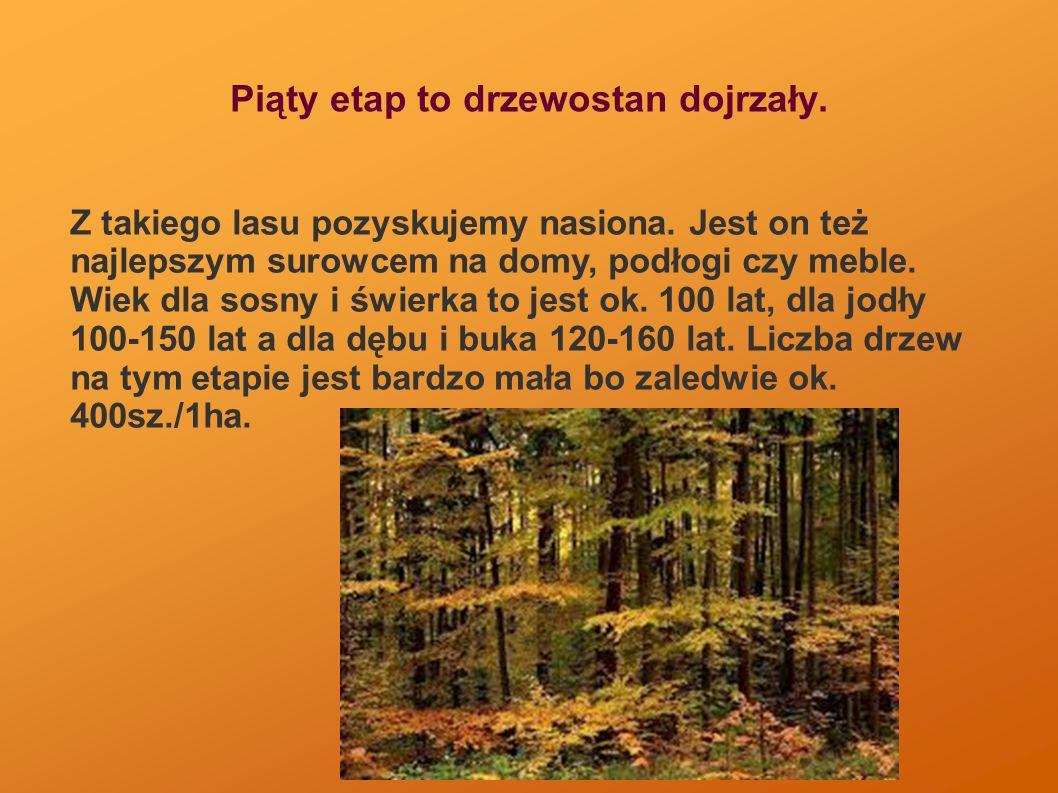Piąty etap to drzewostan dojrzały. Z takiego lasu pozyskujemy nasiona.