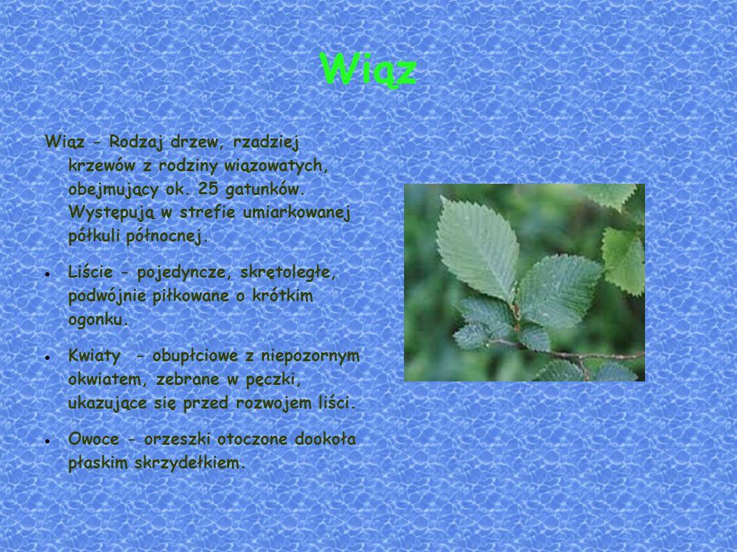 Wiąz Wiąz - Rodzaj drzew, rzadziej krzewów z rodziny wiązowatych, obejmujący ok.