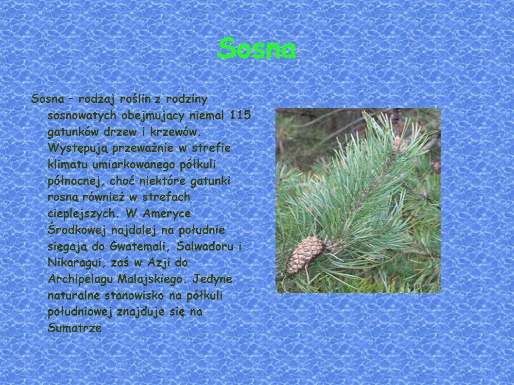 Sosna Sosna – rodzaj roślin z rodziny sosnowatych obejmujący niemal 115 gatunków drzew i krzewów.