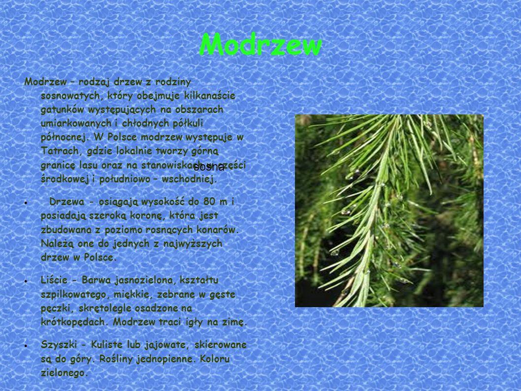 Modrzew Modrzew – rodzaj drzew z rodziny sosnowatych, który obejmuje kilkanaście gatunków występujących na obszarach umiarkowanych i chłodnych półkuli północnej.