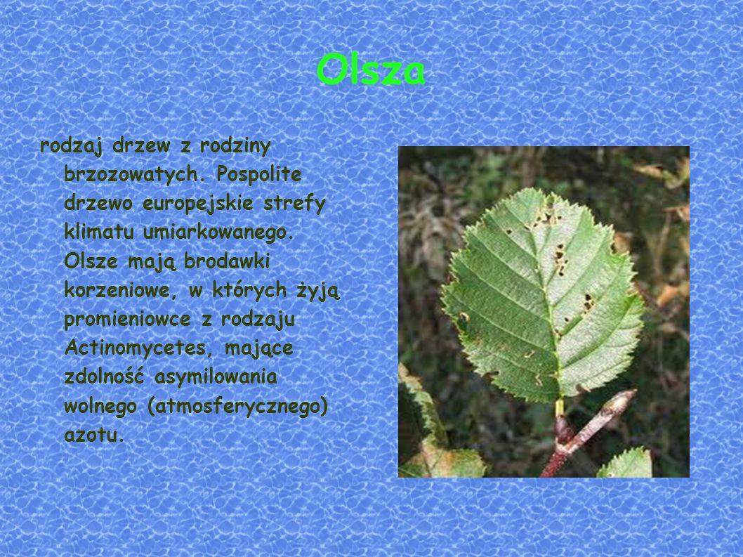 Olsza rodzaj drzew z rodziny brzozowatych.