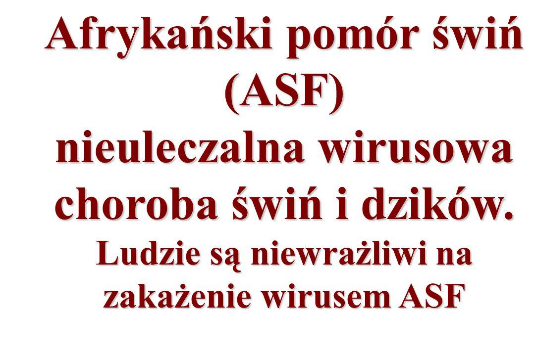 Afrykański pomór świń (ASF) nieuleczalna wirusowa choroba świń i dzików.
