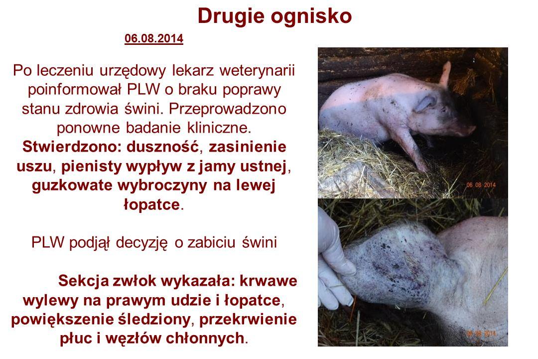 Drugie ognisko 06.08.2014 Po leczeniu urzędowy lekarz weterynarii poinformował PLW o braku poprawy stanu zdrowia świni.