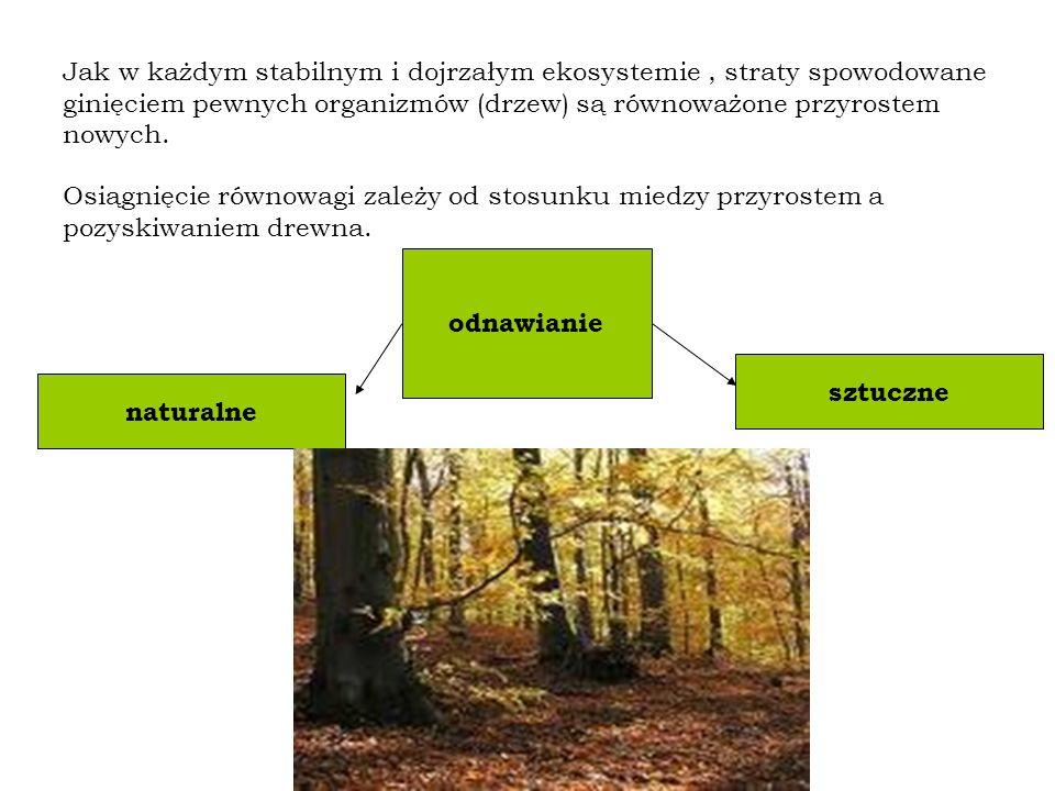 Jak w każdym stabilnym i dojrzałym ekosystemie, straty spowodowane ginięciem pewnych organizmów (drzew) są równoważone przyrostem nowych.