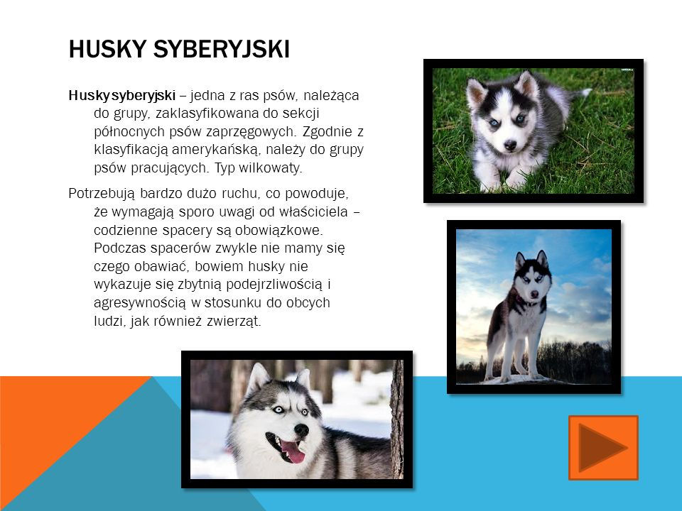 DALMATYŃCZYK Dalmatyńczyk - jedna z ras psów, należąca do grupy psów gończych, posokowców i ras pokrewnych.