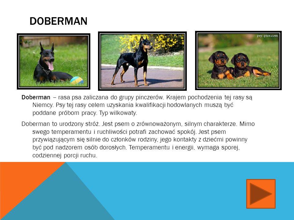BERNARDYN Bernardyn - rasa psa zaliczana do grupy molosów w typie górskim, pełni funkcje psa pociągowego i psa- towarzysza. Jest narodową rasą Szwajca