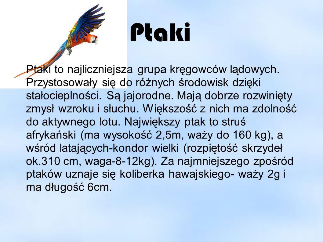 Przystosowanie ptaków do lotu ● Ciało ptaków jest pokryte piórami i łuskami ● Szkielet jest lekki i zwarty.