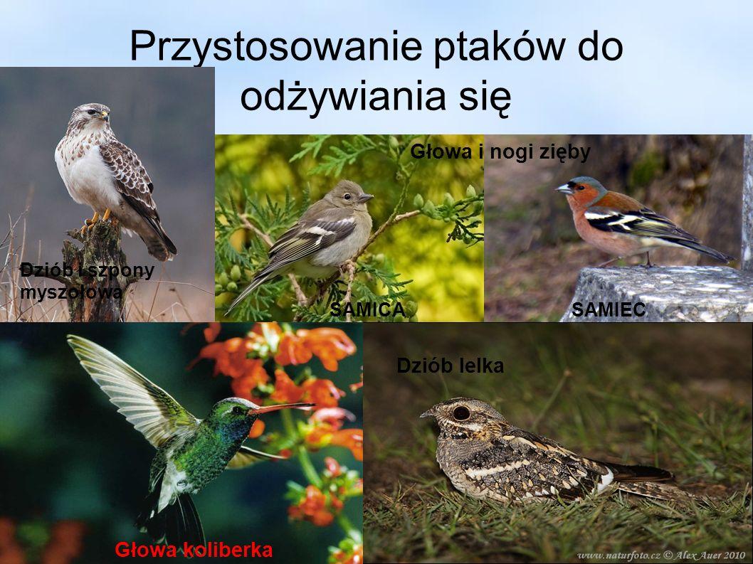 Przystosowanie ptaków do odżywiania się Głowa koliberka Dziób lelka Dziób i szpony myszołowa Głowa i nogi zięby SAMICASAMIEC