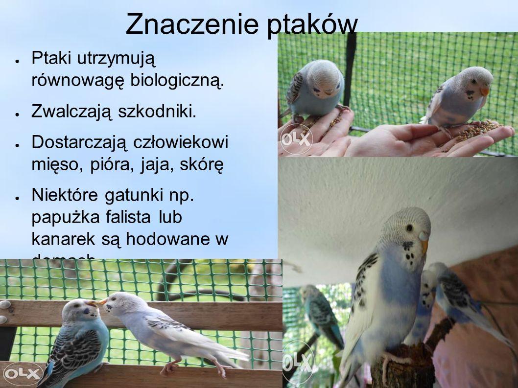 Znaczenie ptaków ● Ptaki utrzymują równowagę biologiczną. ● Zwalczają szkodniki. ● Dostarczają człowiekowi mięso, pióra, jaja, skórę ● Niektóre gatunk