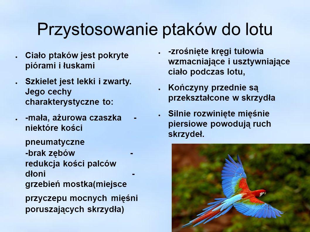 Przystosowanie ptaków do lotu ● Ciało ptaków jest pokryte piórami i łuskami ● Szkielet jest lekki i zwarty. Jego cechy charakterystyczne to: ● -mała,