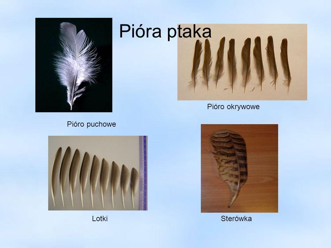 Pióra ptaka Pióro puchowe Pióro okrywowe LotkiSterówka