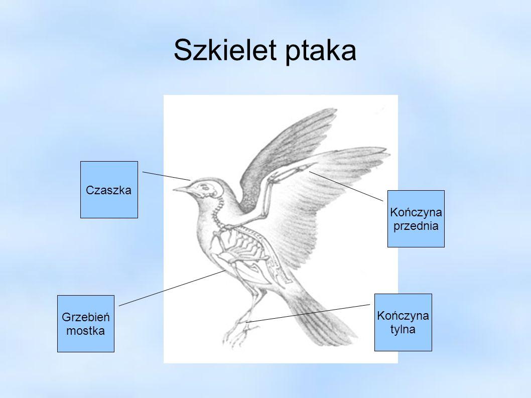 Szkielet ptaka Czaszka Kończyna przednia Grzebień mostka Kończyna tylna