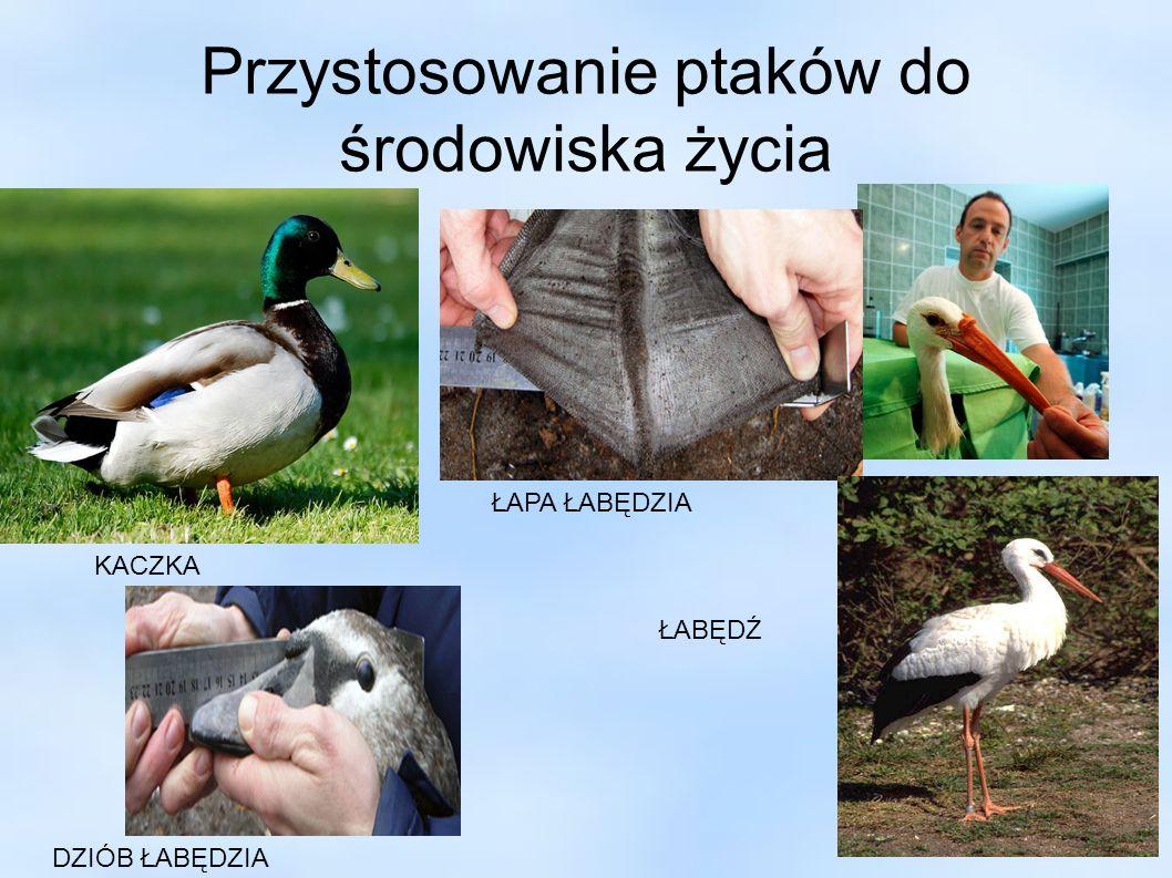Przystosowanie ptaków do odżywiania się :D Ptaki drapieżne ( myszołów, sowa ) : - haczykowaty, ostry dziób - długie palce zakończone szponami, - maskujące ubarwienie, Ptaki żywiące się nasionami ( papuga, zięba) : - masywny, gruby dziób, - silne palce z dużymi pazurami, Ptaki żywiące się nektarem ( koliber, nektarnik ) : - wydłużony, prosty dziób, - długi, rozdwojony lub pędzelkowaty język, - umiejętność zawisania w miejscu i loty do tyłu, Ptaki żerujące w locie ( jaskółka, jeżyk, lelek ) : - mały dziób otoczony długimi, cienkimi piórami, - długie wąskie skrzydła - krótkie nogi.