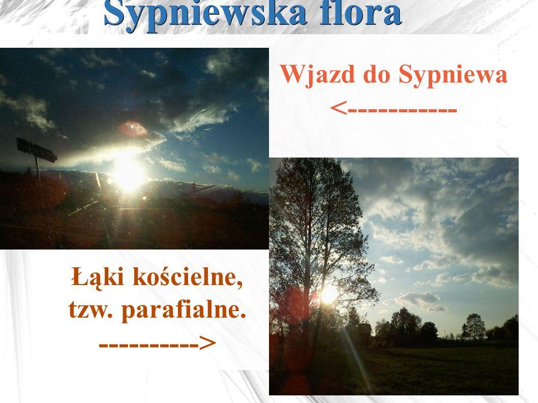 Sypniewska flora Łąki kościelne, tzw. parafialne. ----------> Wjazd do Sypniewa <-----------