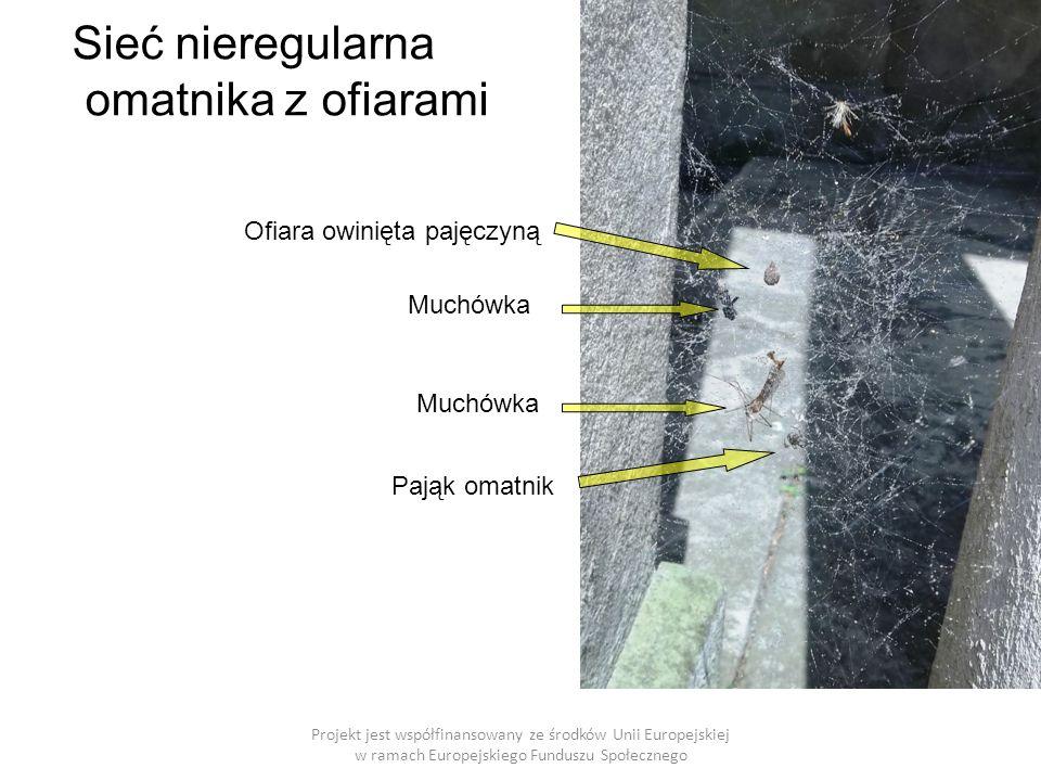 Sieć nieregularna omatnika z ofiarami Projekt jest współfinansowany ze środków Unii Europejskiej w ramach Europejskiego Funduszu Społecznego Muchówka Ofiara owinięta pajęczyną Pająk omatnik