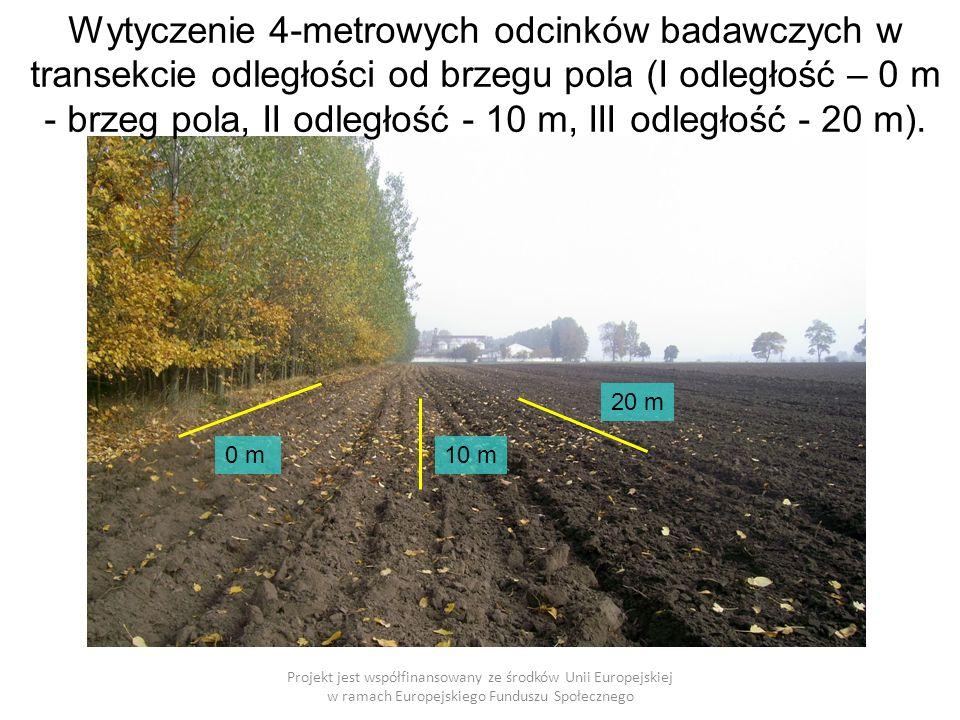 Wytyczenie 4-metrowych odcinków badawczych w transekcie odległości od brzegu pola (I odległość – 0 m - brzeg pola, II odległość - 10 m, III odległość - 20 m).