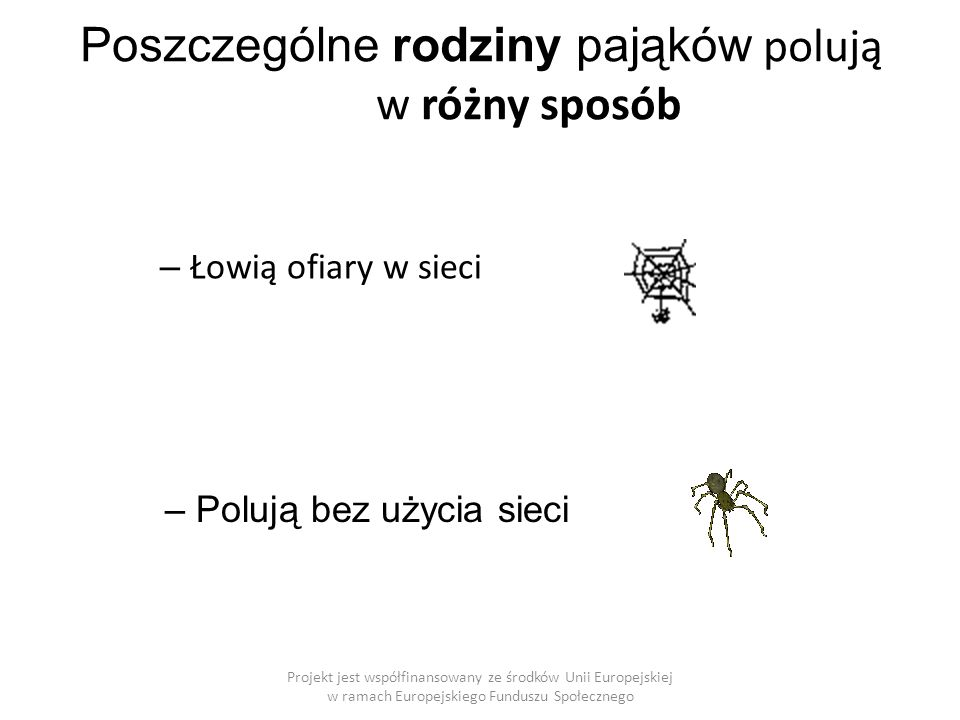 Projekt jest współfinansowany ze środków Unii Europejskiej w ramach Europejskiego Funduszu Społecznego Poszczególne rodziny pająków polują w różny sposób – Łowią ofiary w sieci – Polują bez użycia sieci
