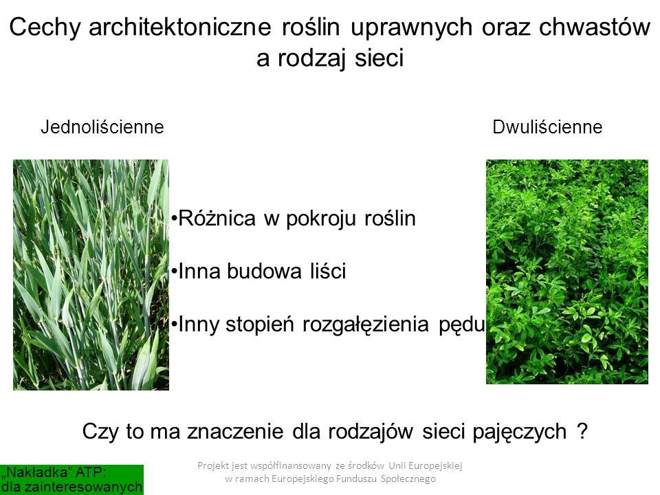 Projekt jest współfinansowany ze środków Unii Europejskiej w ramach Europejskiego Funduszu Społecznego Cechy architektoniczne roślin uprawnych oraz chwastów a rodzaj sieci JednoliścienneDwuliścienne Różnica w pokroju roślin Inna budowa liści Inny stopień rozgałęzienia pędu Czy to ma znaczenie dla rodzajów sieci pajęczych .