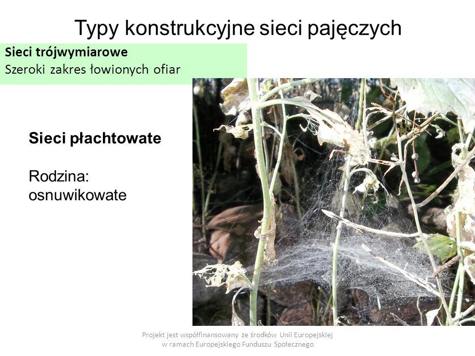 Projekt jest współfinansowany ze środków Unii Europejskiej w ramach Europejskiego Funduszu Społecznego Typy konstrukcyjne sieci pajęczych Sieci trójwymiarowe Szeroki zakres łowionych ofiar Sieci płachtowate Rodzina: osnuwikowate