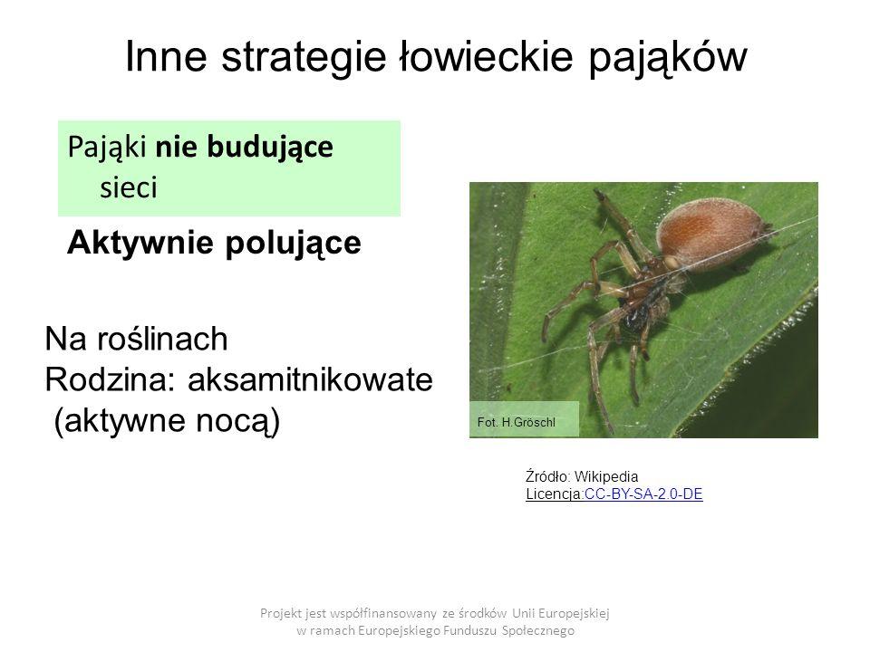 Inne strategie łowieckie pająków Projekt jest współfinansowany ze środków Unii Europejskiej w ramach Europejskiego Funduszu Społecznego Aktywnie polujące Pająki nie budujące sieci Na roślinach Rodzina: aksamitnikowate (aktywne nocą) Fot.