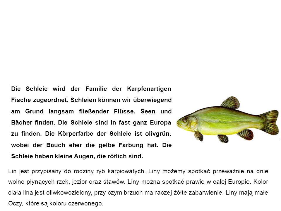 Schleie (Schuster, Schlüpfling) lin Die Schleie wird der Familie der Karpfenartigen Fische zugeordnet.