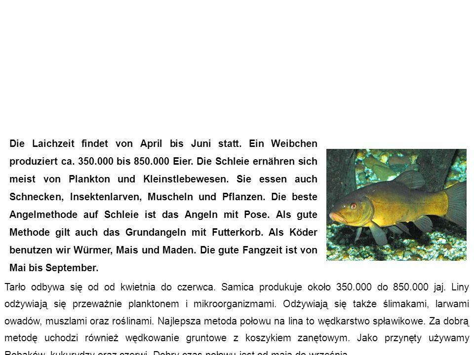 Schleie (Schuster, Schlüpfling) lin Die Laichzeit findet von April bis Juni statt.
