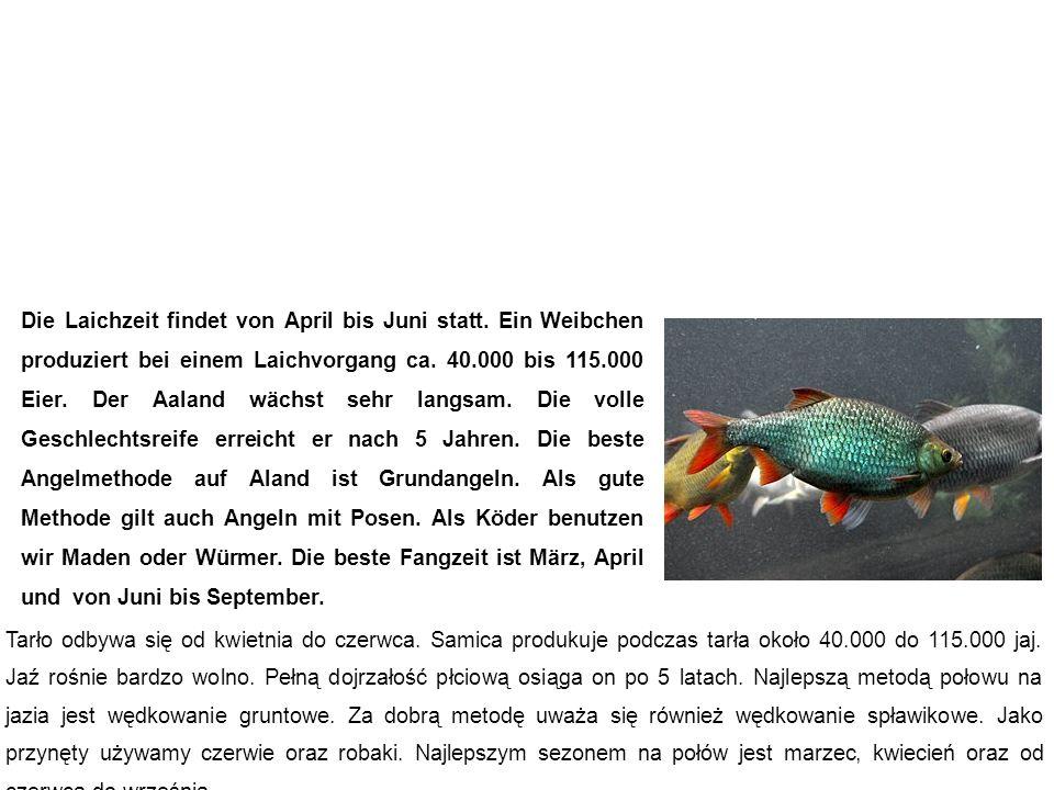 Aland (Nerfling, Orfe) jaź Die Laichzeit findet von April bis Juni statt.