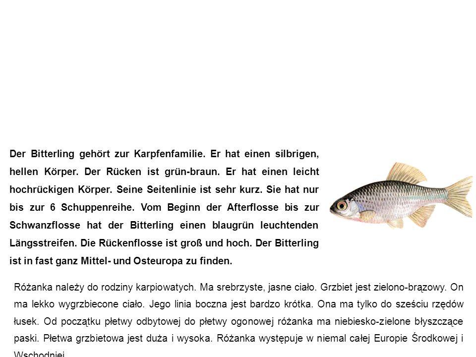 Bitterling (Bitterfisch, Schneiderkarpfen) różanka Der Bitterling gehört zur Karpfenfamilie.