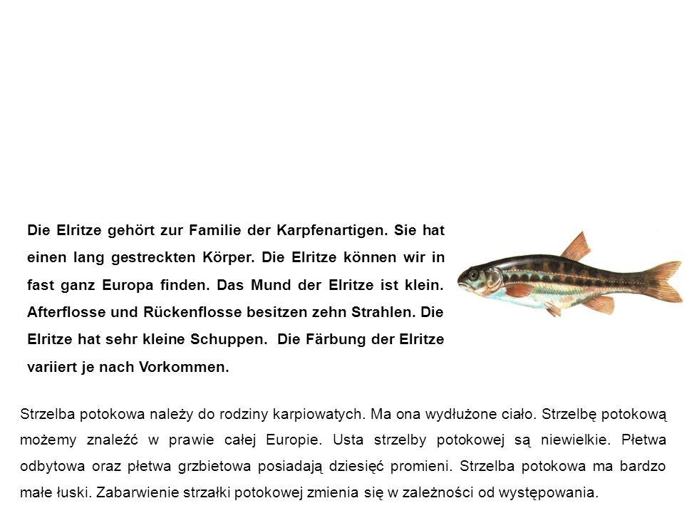 Elritze (Pfrille, Prille, Maipiere) strzelba potokowa Die Elritze gehört zur Familie der Karpfenartigen.