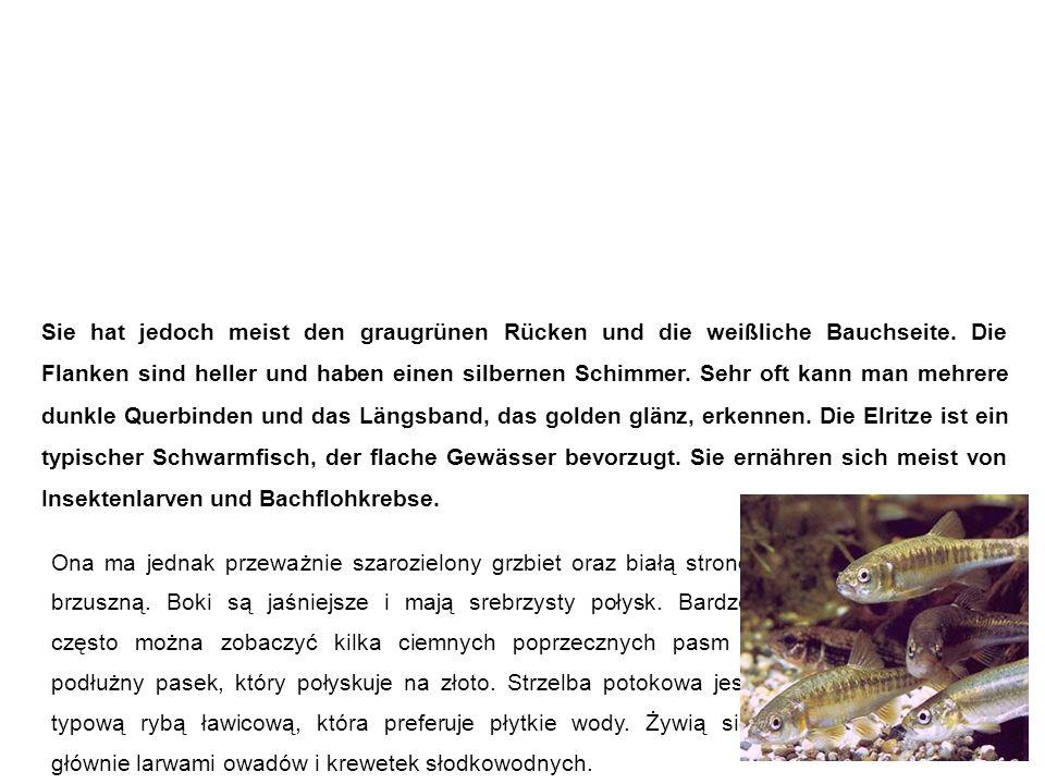 Elritze (Pfrille, Prille, Maipiere) strzelba potokowa Sie hat jedoch meist den graugrünen Rücken und die weißliche Bauchseite.