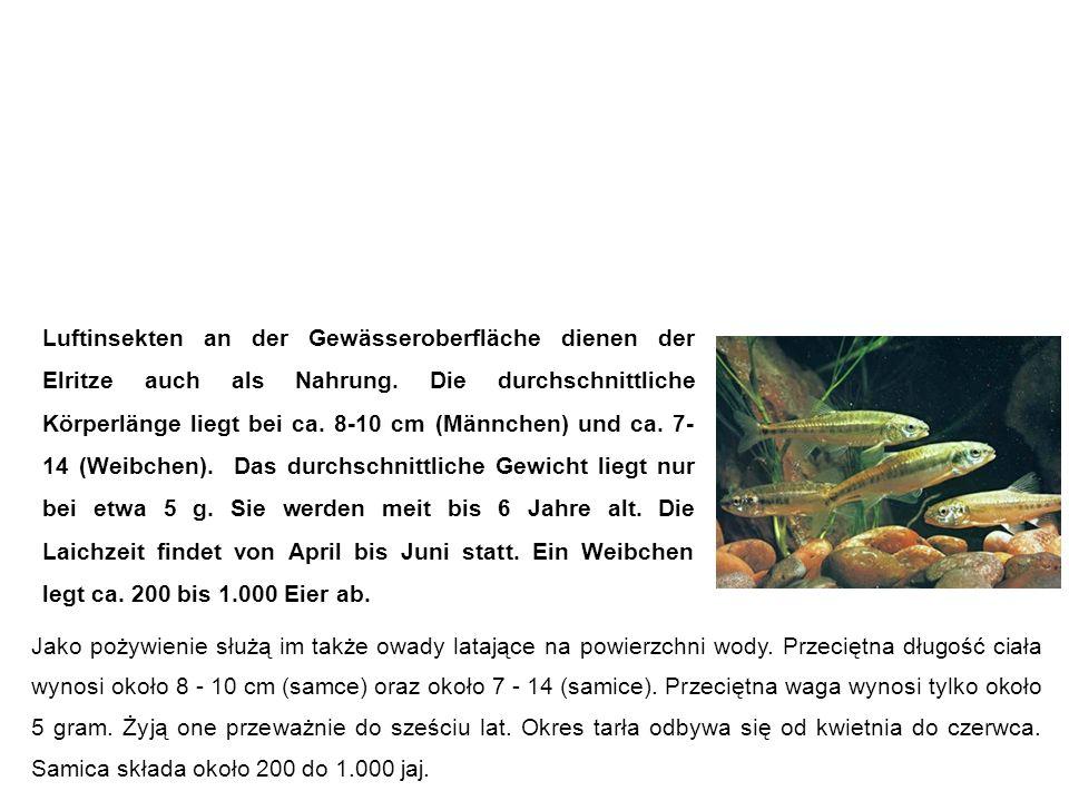 Elritze (Pfrille, Prille, Maipiere) strzelba potokowa Luftinsekten an der Gewässeroberfläche dienen der Elritze auch als Nahrung.