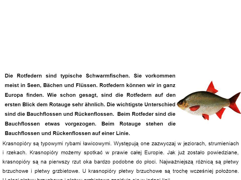 Rotfeder (Rötel, Rotblei) Krasnopióra Die Rotfedern sind typische Schwarmfischen.