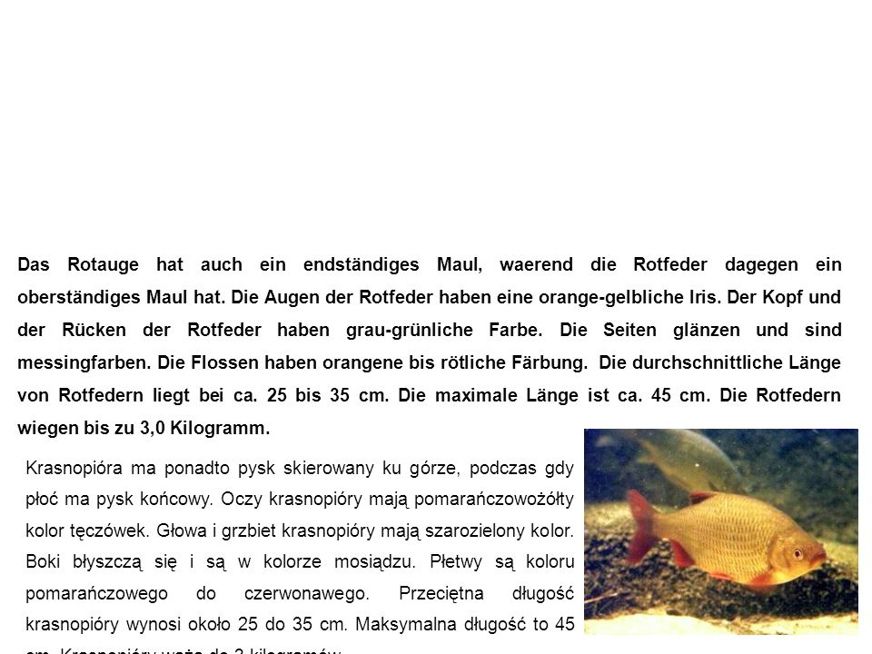 Rotfeder (Rötel, Rotblei) Krasnopióra Das Rotauge hat auch ein endständiges Maul, waerend die Rotfeder dagegen ein oberständiges Maul hat.