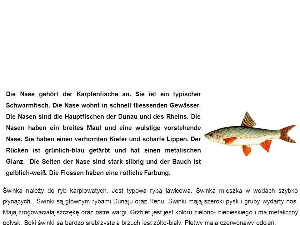 Nase (Näsling, Schnabel) świnka Die Nase gehört der Karpfenfische an. Sie ist ein typischer Schwarmfisch. Die Nase wohnt in schnell fliessenden Gewäss