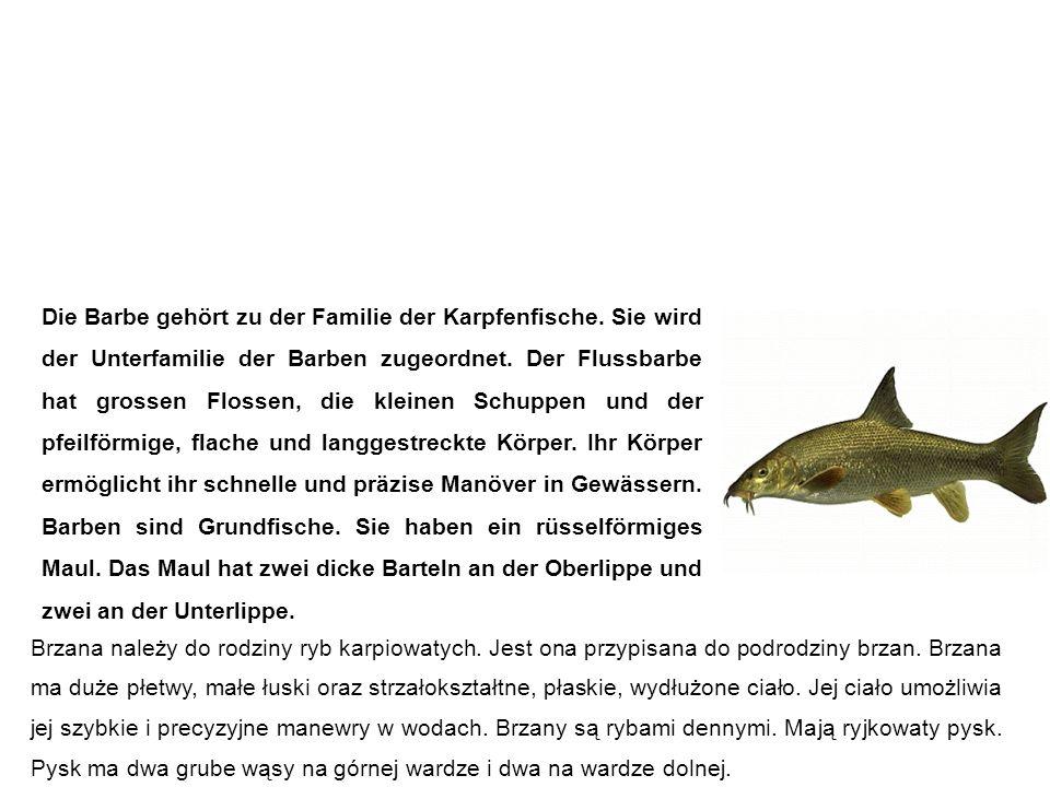 Barbe (Flussbarbe) Brzana Die Barbe gehört zu der Familie der Karpfenfische. Sie wird der Unterfamilie der Barben zugeordnet. Der Flussbarbe hat gross
