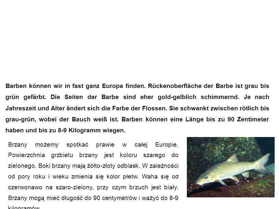 Barbe (Flussbarbe) Brzana Barben können wir in fast ganz Europa finden. Rückenoberfläche der Barbe ist grau bis grün gefärbt. Die Seiten der Barbe sin