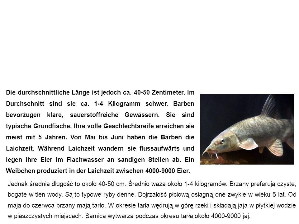 Barbe (Flussbarbe) Brzana Die durchschnittliche Länge ist jedoch ca. 40-50 Zentimeter. Im Durchschnitt sind sie ca. 1-4 Kilogramm schwer. Barben bevor