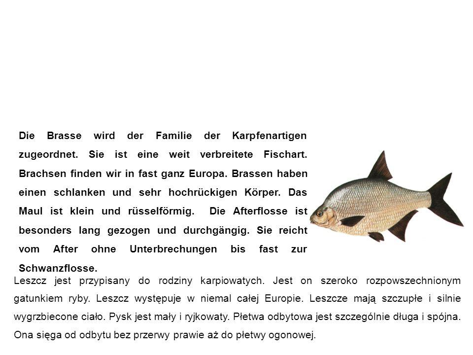 Brasse (Brachse, Brachsme, Blei, Bresen) leszcz Die Brasse wird der Familie der Karpfenartigen zugeordnet.
