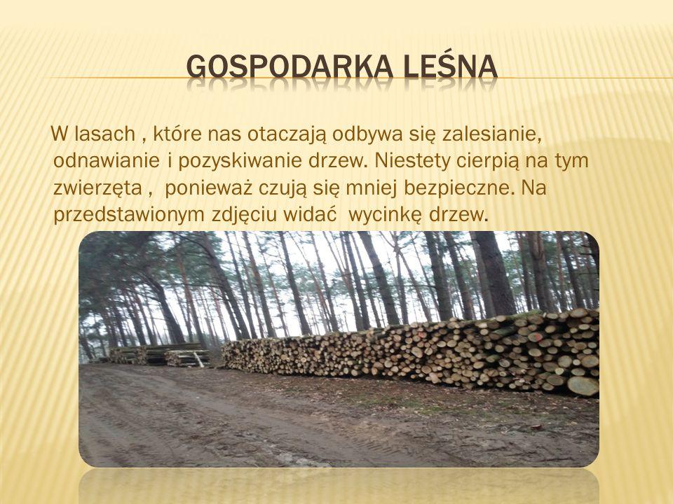W lasach, które nas otaczają odbywa się zalesianie, odnawianie i pozyskiwanie drzew.